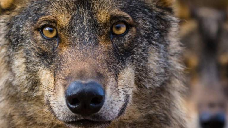 Lobo ibérico. ©Shutterstock