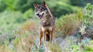 Cantabria planta cara al MITECO y autoriza el control de 34 lobos hasta julio de 2022