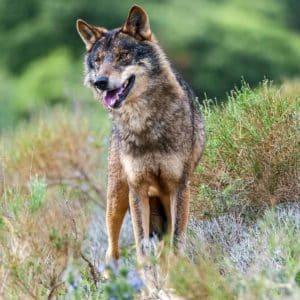 13 reflexiones que explican por qué prohibir la caza del lobo es un despropósito