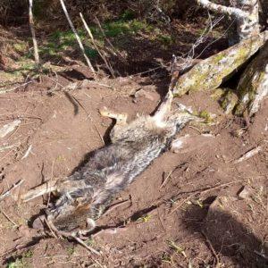 Aparece otro lobo muerto en un lazo en Orense
