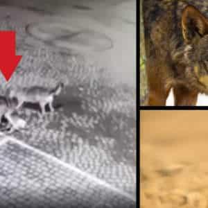 Dos lobos cazan un corzo en la puerta de un colegio