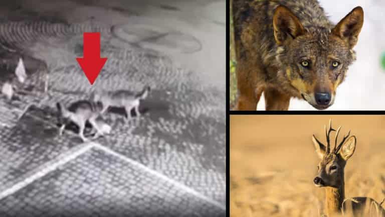 lobos cazan corzo colegio