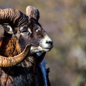 Caza de muflón a rececho en la Muela de Cortes: un reto para el cazador