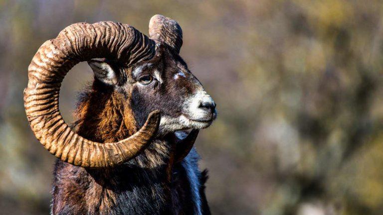 Muflón. ©Shutterstock