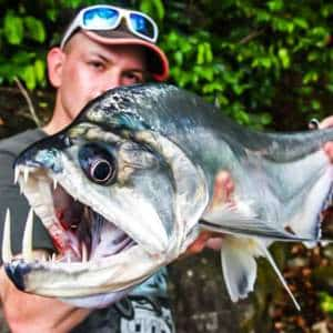Así es el payara, el pez de agua dulce con colmillos de jabalí