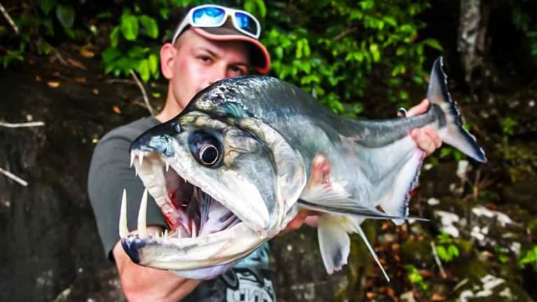 El payara, también conocido como pez vampiro.