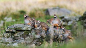 Se buscan cazadores comprometidos para asegurar el futuro de la perdiz roja