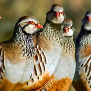Animalistas atacan tres granjas en Lérida y sueltan 400 perdices rojas