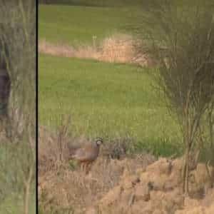 Este vídeo sobre la caza de la perdiz con reclamo arrasa: acumula casi dos millones de reproducciones