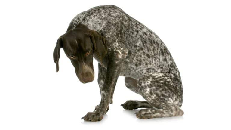 Displasia de cadera: así afecta esta enfermedad a nuestros perros de caza