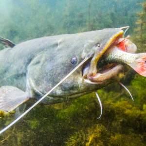 Pescan un gran siluro de 1,65 metros y 65 kilos en el río Tormes salmantino