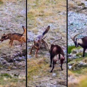 Un cazador graba por primera vez el ataque de lobo a un macho montés en Gredos