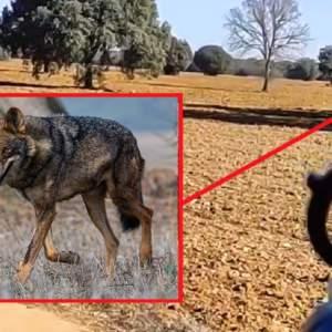 Un lobo se mete 'en la boca del cañón' de un cazador durante una batida de jabalí en Valladolid
