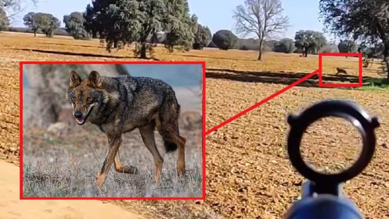 reacción cazador lobo