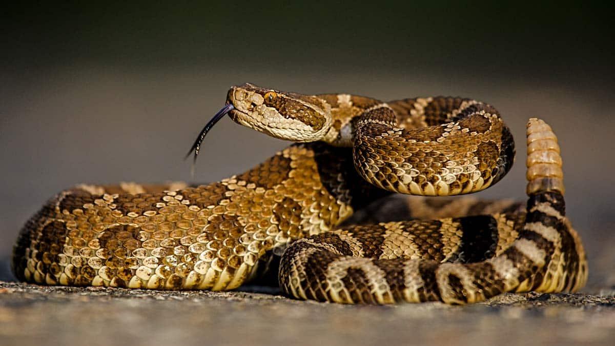 En estado grave tras ser mordido por una serpiente de cascabel que ha aparecido atropellada en Toledo