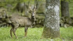 Cinco excusas que todo cazador de corzos pone cuando no caza