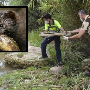 Detectan visones con coronavirus en dos ríos de Castellón