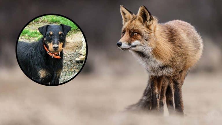 Perro y zorro.