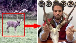¿Por qué este corzo tenía su extraordinario trofeo tan separado?