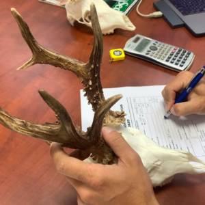 ¿Cómo se mide un trofeo de corzo? El paso a paso para saber su puntuación