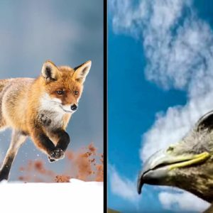 Un águila equipada con una cámara graba cómo caza a un zorro