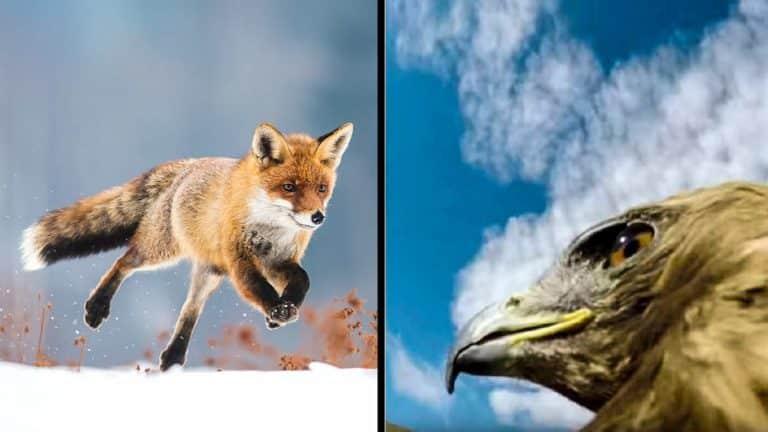 Zorro y águila real.
