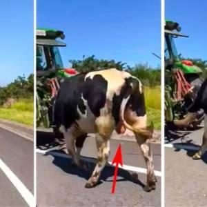 Un animalista confunde un semental con una vaca lechera y las redes estallan en carcajadas