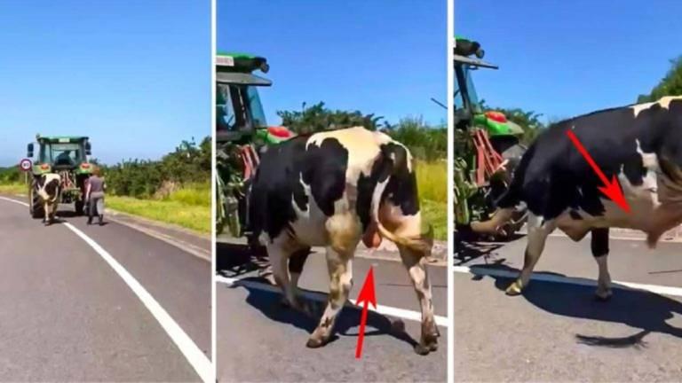 animalista confunde vaca
