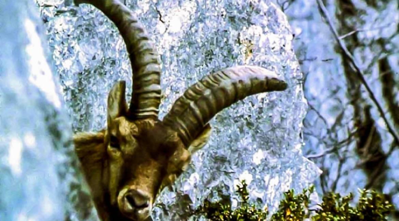 No se puede culpar a la caza de extinguir al bucardo, según un nuevo estudio
