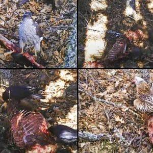 Encuentra un jabalí medio comido por los lobos, coloca una cámara trampa y alucina con lo que graba