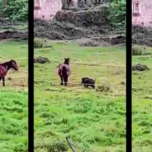 Un gran jabalí intenta atacar a un caballo por detrás y se acaba arrepintiendo