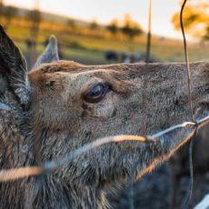 Monfragüe cambia la caza por matanzas de animales acorralados financiadas con dinero público