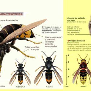 Vespa velutina: ¿Cómo distinguir a una avispa asiática de una común?