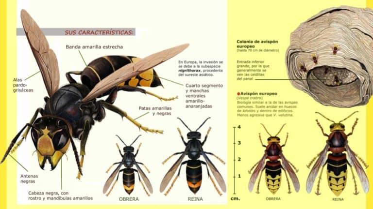 como-identificar-una-avispa-asiatica-vespa-velutina