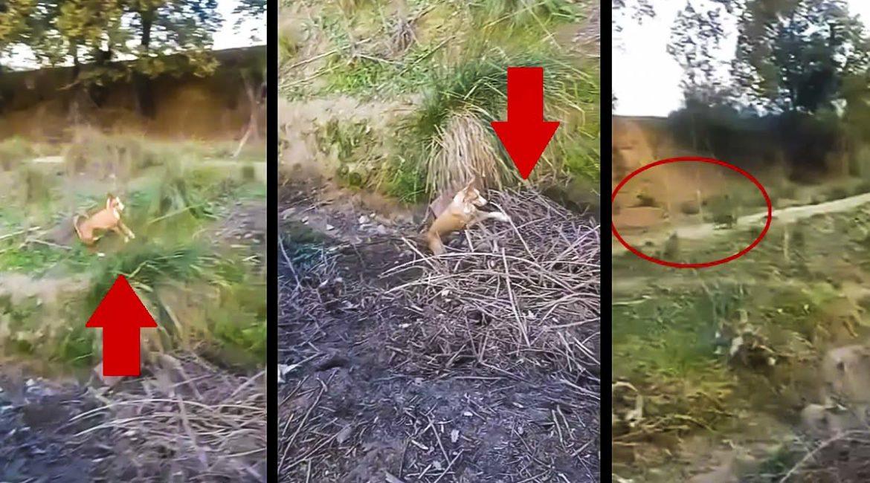 Un conejo se la intenta jugar a un podenco… pero el perro se las sabe todas