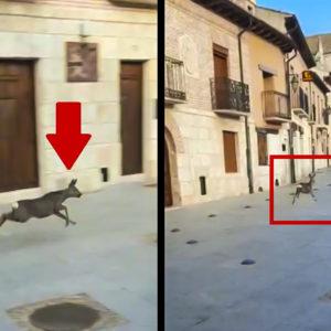 Una corza se va de paseo por Simancas y llega hasta la Plaza Mayor