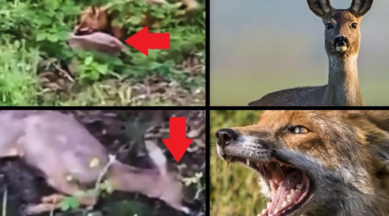 Graban a un zorro atacando a una corza adulta: así es la cruda realidad de la naturaleza
