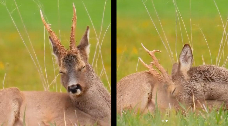 Así es como se duerme un corzo: insólitas imágenes captadas por un cazador