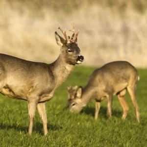 Las comunidades cambian las restricciones este sábado: así afecta a la caza del corzo y el jabalí