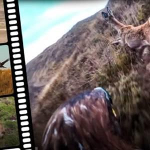 El bellísimo vídeo de un águila real cazando corzos y rebecos que muestra la magia de la cetrería
