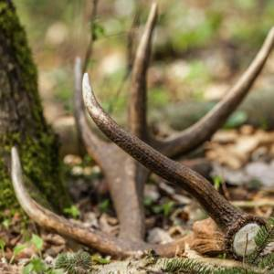 ¿Puedo coger una cuerna de ciervo o un trofeo de caza que encuentre en el campo?