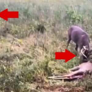 Encuentra dos ciervos con la cuerna enredada y dispara con su arma