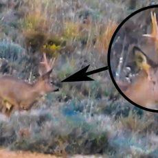 Así es el enigmático corzo que está quitando el hipo a los cazadores