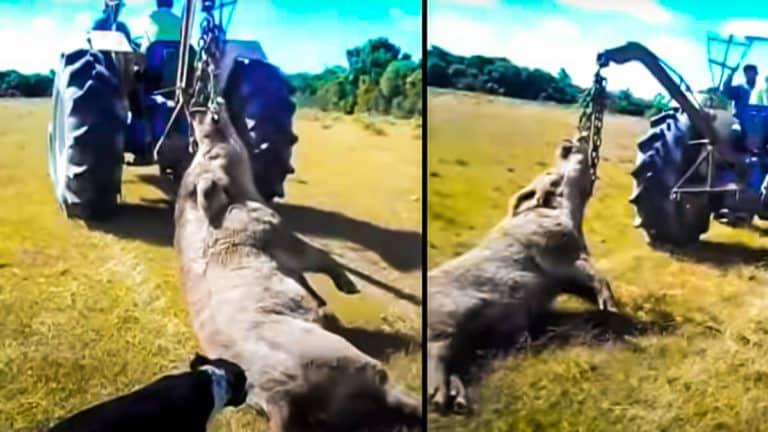 El enorme jabalí, arrastrado por el tractor. © YouTube