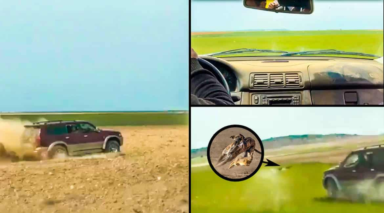 Se graban corriendo liebres con galgos desde el coche, en época de cría y destrozando las siembras