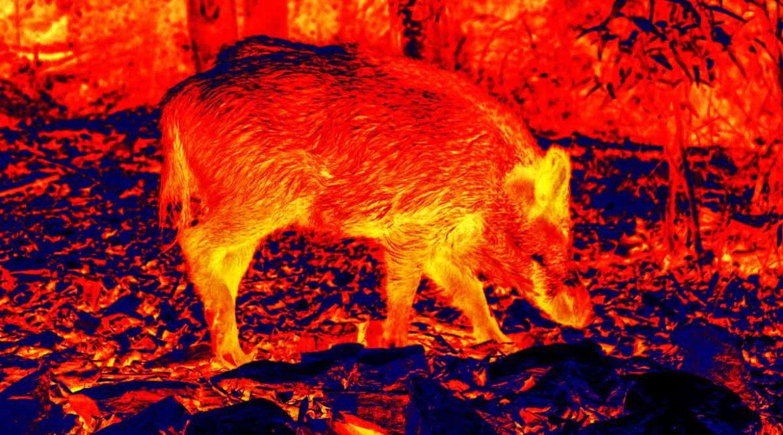 Atrayentes, visores térmicos y nocturnos podrán utilizarse en la caza en espera de jabalí en Murcia