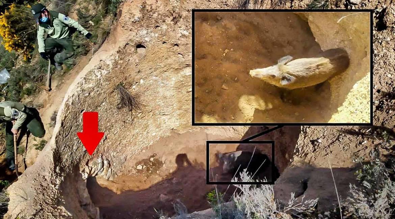 Un jabalí se precipita a un antiguo horno de cal y es rescatado por agentes forestales