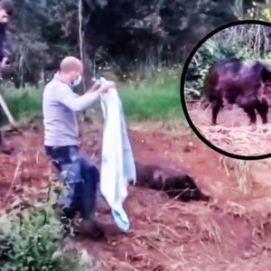 Dos cazadores encuentran un jabalí en un lazo y esta es su reacción