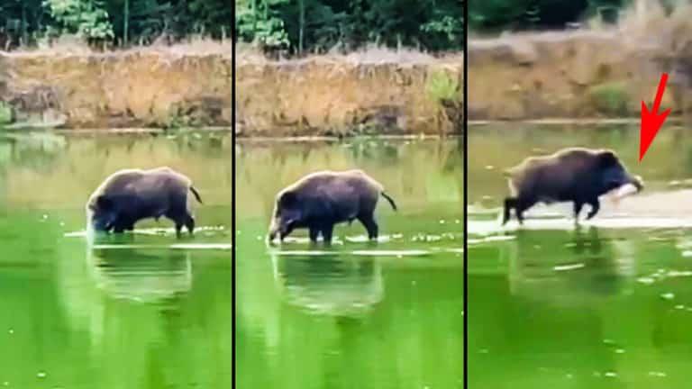 El jabalí, intentando dar caza al pez. © YouTube
