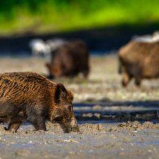 La caza, más necesaria que nunca: los jabalíes amenazan esta joya natural española